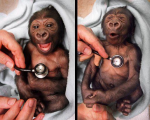 Newborn baby gorilla at Melbourne Zoo reacts to coldness of stethoscope