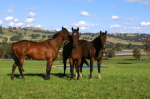 Some of our horses enjoying their spell at Lindsay Park Euroa
