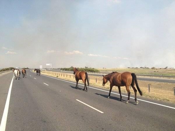 THE THOROUGHBRED Horses on the Hume fwy Craigieburn escaping